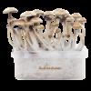 Magic mushroom grow kit McKennaii XP