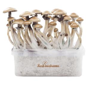 magic mushroom grow kits for sale