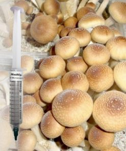Buy Orissa India cubensis Spores