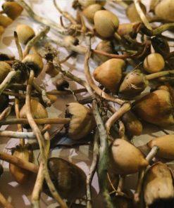 liberty caps mushrooms dried