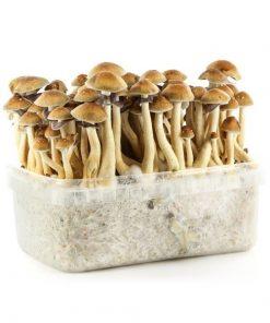 Buy Magic Mushroom Grow kits