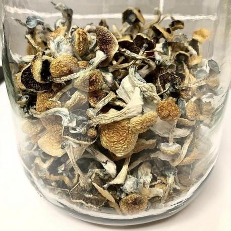 Psilocybe Azurescens for sale
