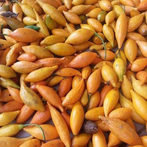 Iboga seeds for sale